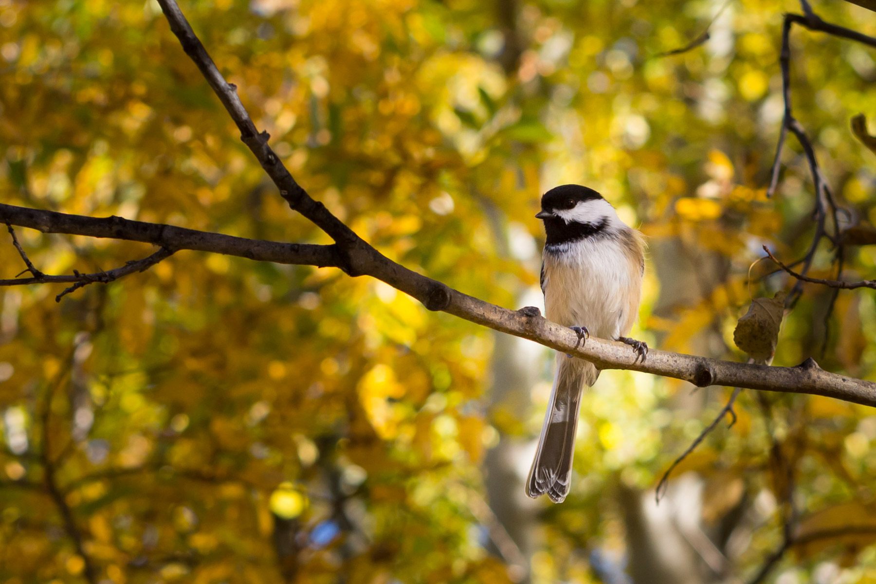 Chickadee in Autumn at Clifford E Lee Nature Sanctuary - Parkland County, Alberta  - Tracey Sawatzky, Adventure Photographer