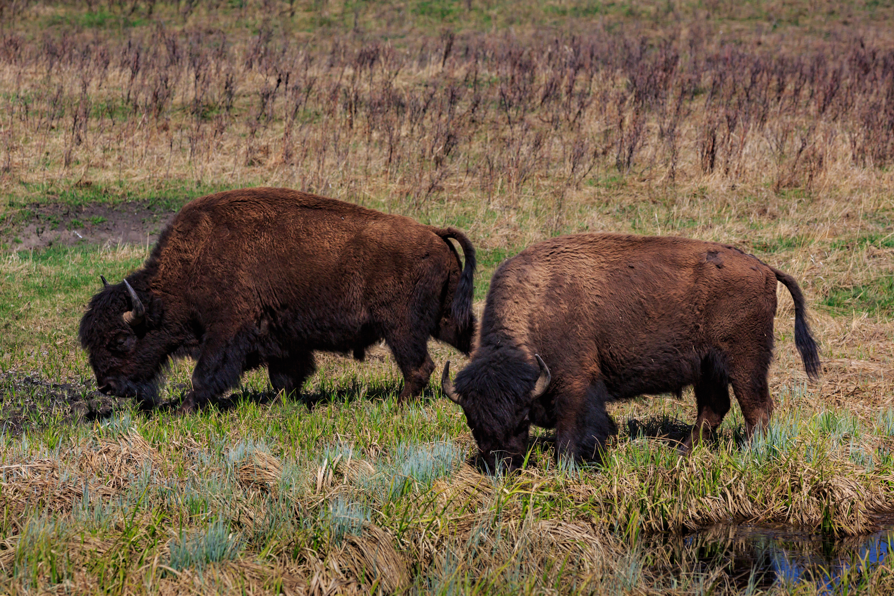 Bison Elk Island National Park Alberta
