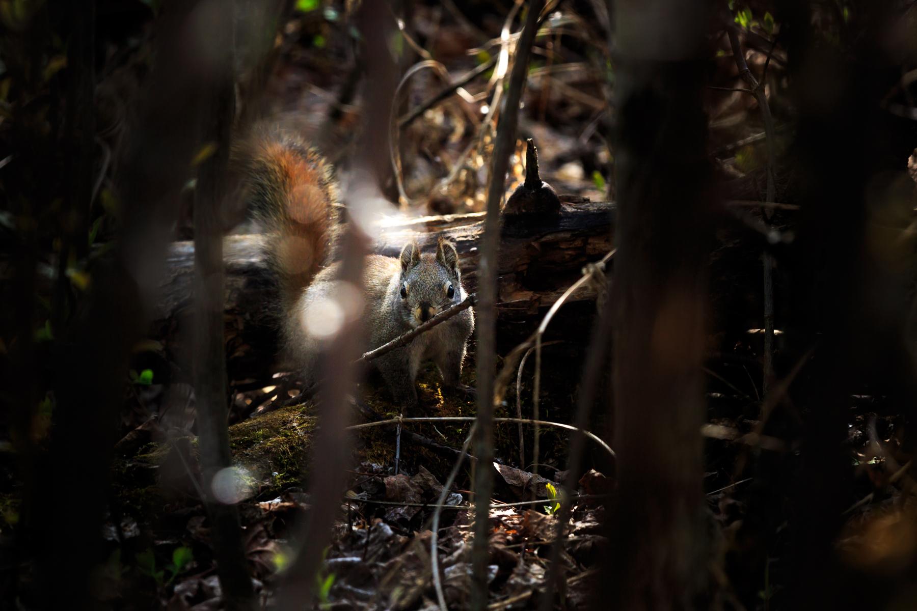 Squirrel Elk Island National Park Alberta