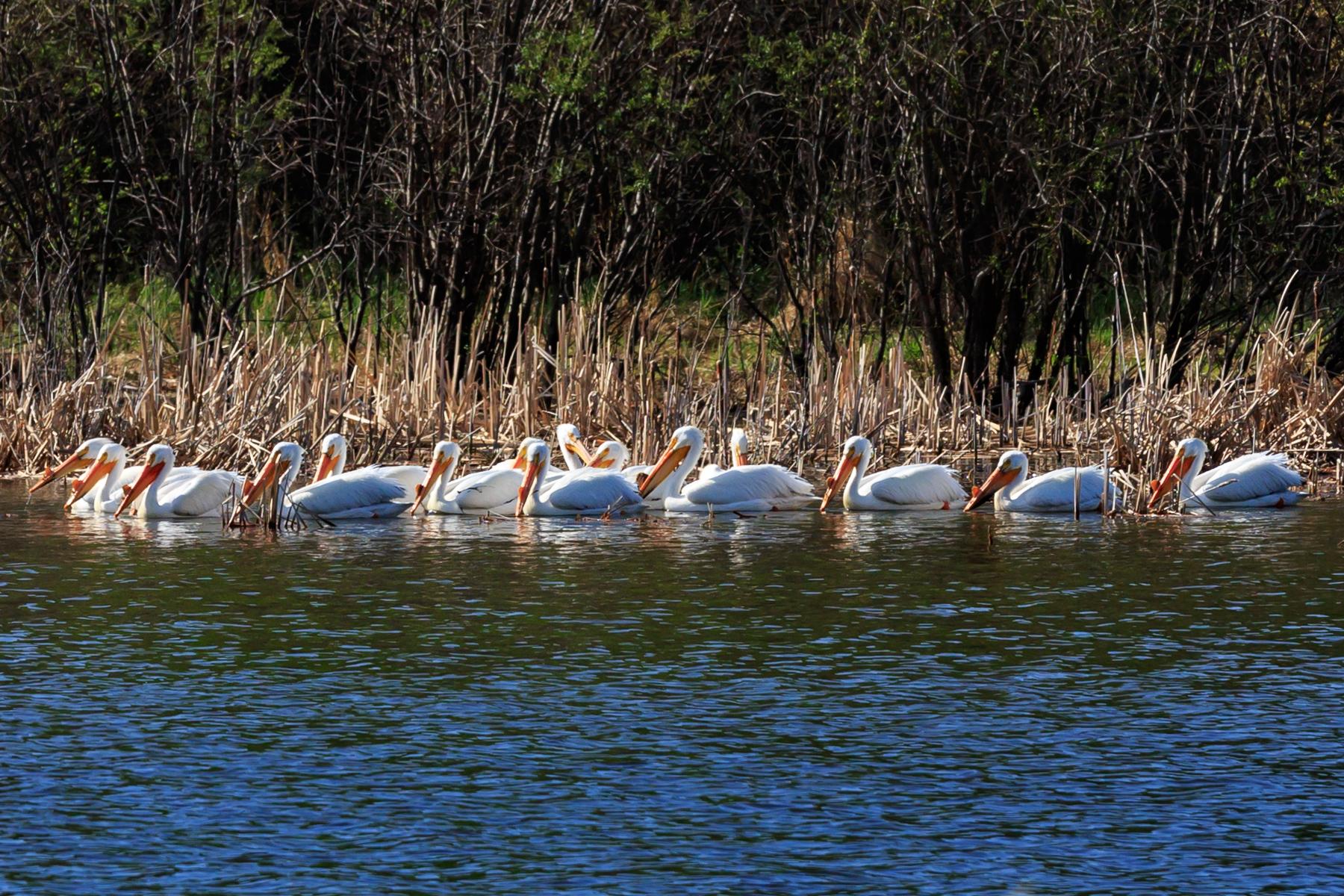 Pelican Astotin Lake Elk Island National Park Alberta