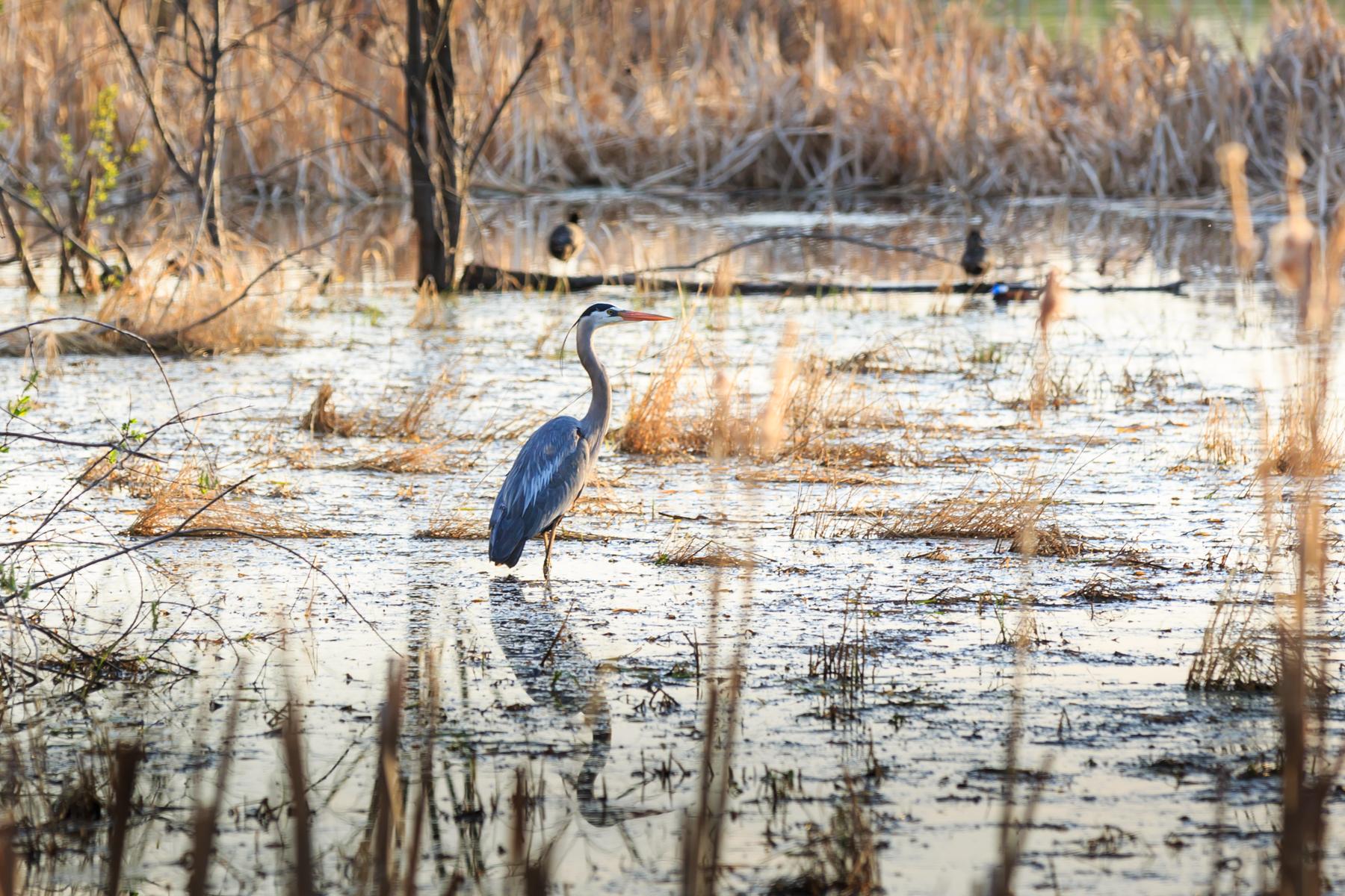 Blue Heron Elk Island National Park Alberta