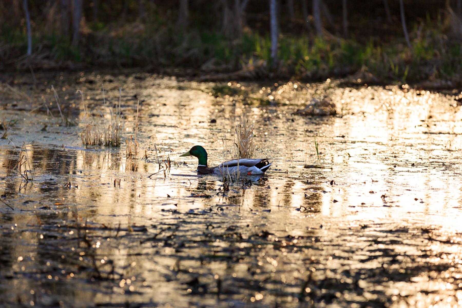 Mallard Duck Elk Island National Park Alberta