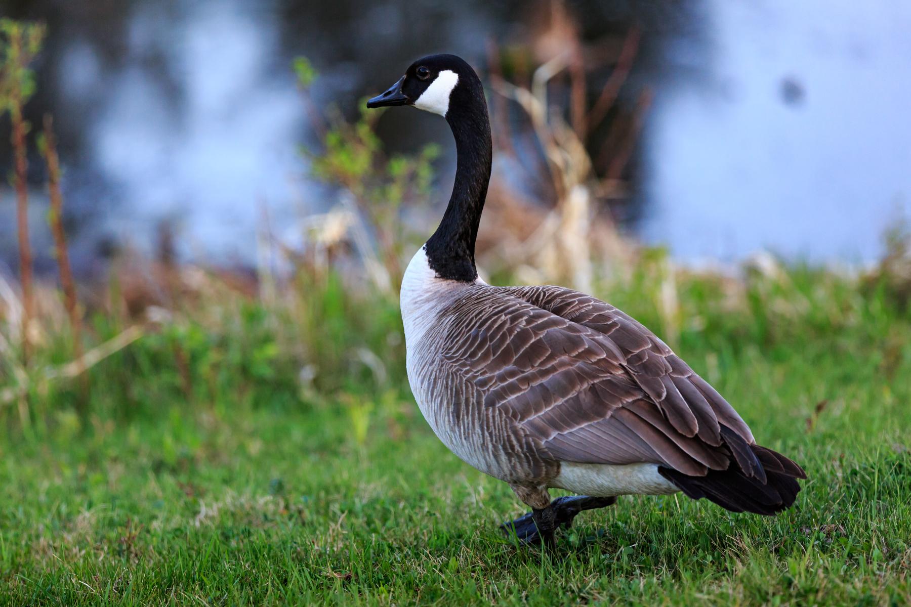 Canada Goose Elk Island National Park Alberta