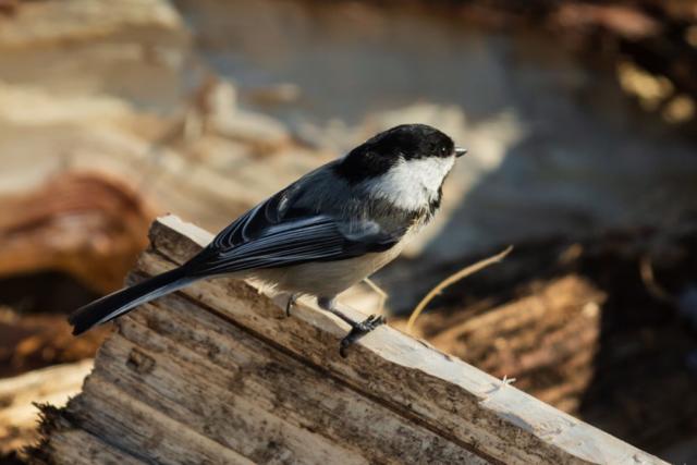 chickadee on wood