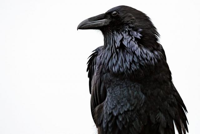 Raven. Jasper, Alberta - Tracey Sawatzky, Adventure Photographer