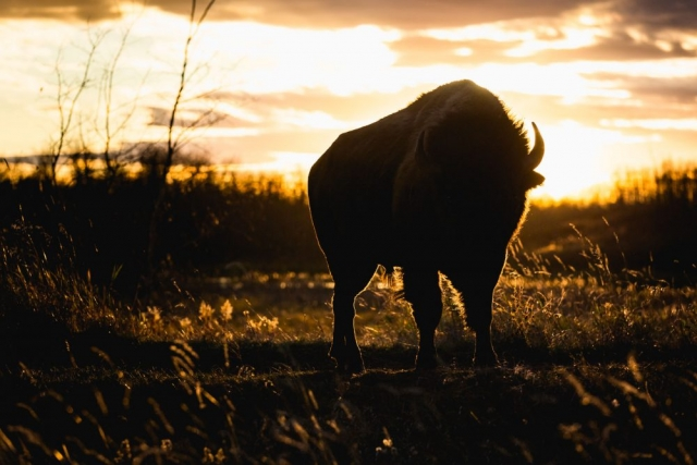 Bison at Sunset - Elk Island National Park, Alberta  - Tracey Sawatzky, Adventure Photographer