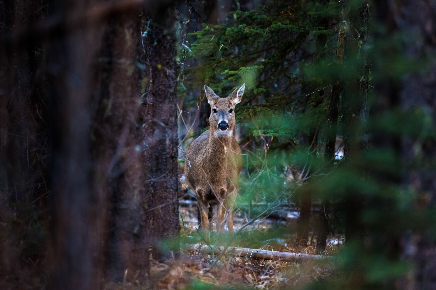 Whitetail deer in the forest - Kananaskis, Alberta  - Tracey Sawatzky, Adventure Photographer