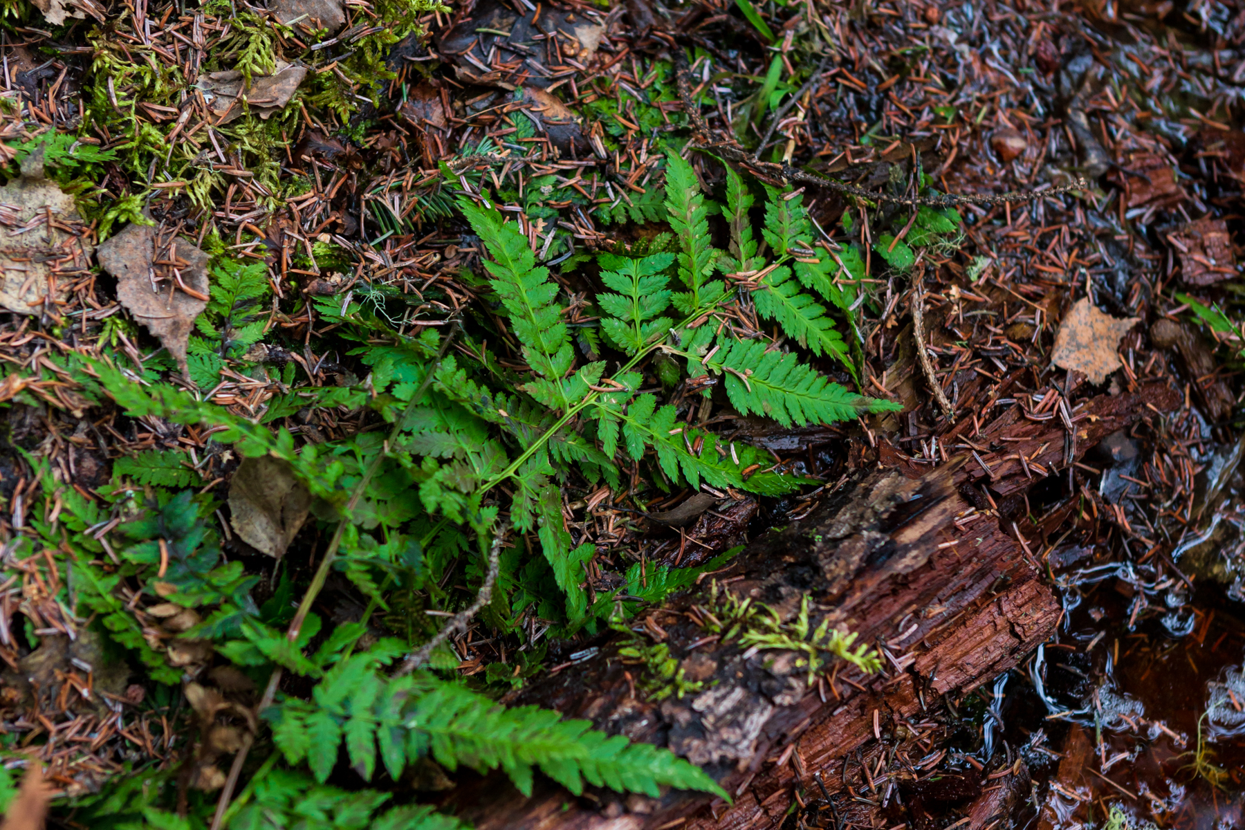 fern growing in a wet area of a forest